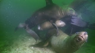 The Biggest Sea Lion in the World - Deadly 60 - Series 2 - BBC