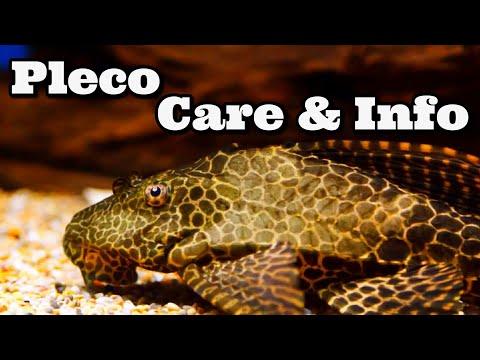Pleco Care And Information Hypostomus Plecostomus - Common Pleco