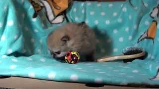 Pomeranian Zwergspitz Welpen . !!! Mädchen 5 Wochen Alt