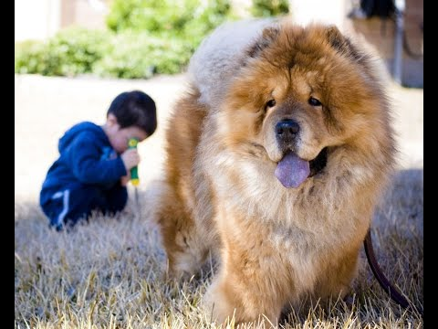 Baby and dog playing RC helicopter together! Funny chow chow video!