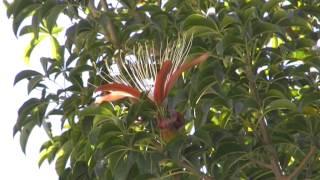 BAOBAB en FLEUR à Tananarive