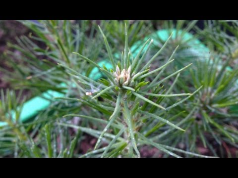 [ Бонсай из семян ] Черная японская сосна.(Pinus thunbergii) Год первый.
