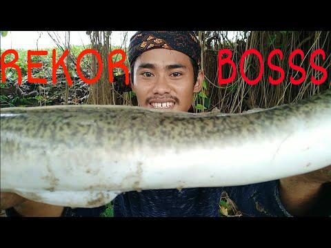 MISI BERHASIL,, REKOR   STRIKE Ikan SIDAT BESAR   BERBURU SIDAT PART Ke Lima