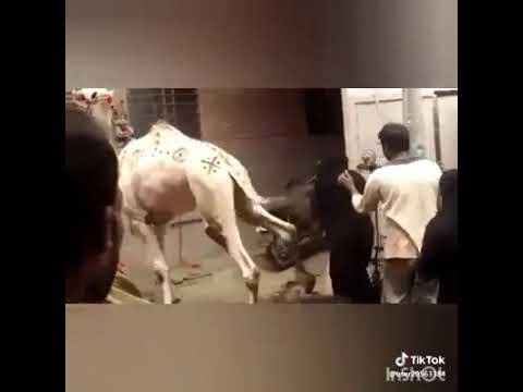 Lat lagi gia camel ki