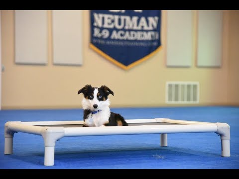 Bennett (Toy Aussie) Boot Camp Dog Training Video Demonstration