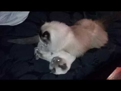 Late night grooming - PoathCats / PoathTV / Floppy Ragdoll Cats