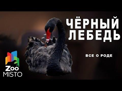 Чёрный лебедь - Все о птице семейства утиных | Птица чёрный лебедь