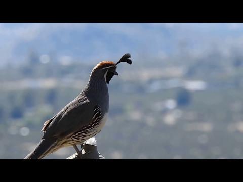 Gambel's quail call