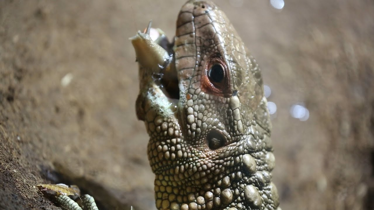 How does a caiman lizard hunt?