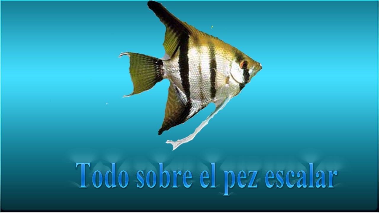 Cuidados sobre el pez angel o escalar youtube for Pez escalar enfermedades