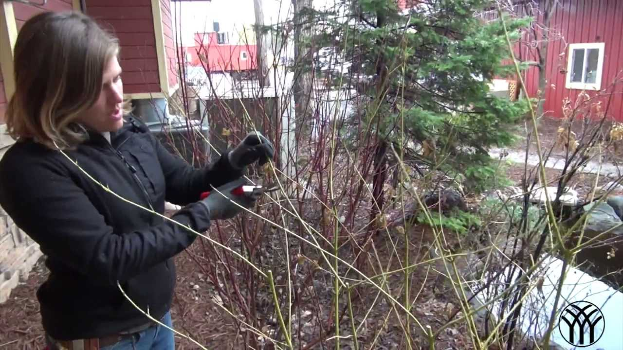 How To Prune A Dogwood Shrub Youtube
