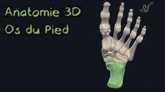 Les Os du pied 3D (Naturosoutien)