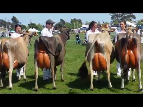 Dairy Cows in Shepparton  Australia Competition