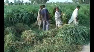 Mott grass production technology Pakistan part-2 Dr.Ashraf Sahibzada