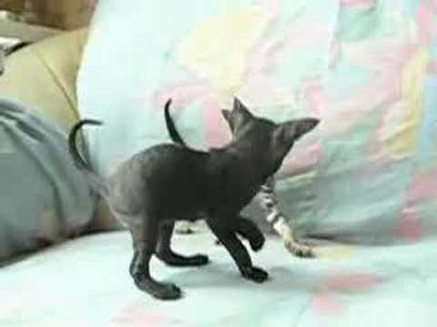 Cornish rex kitten play