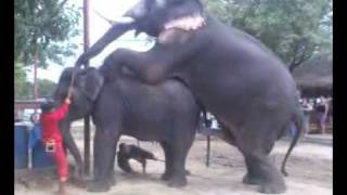 Repeat youtube video Elephant Mating 4