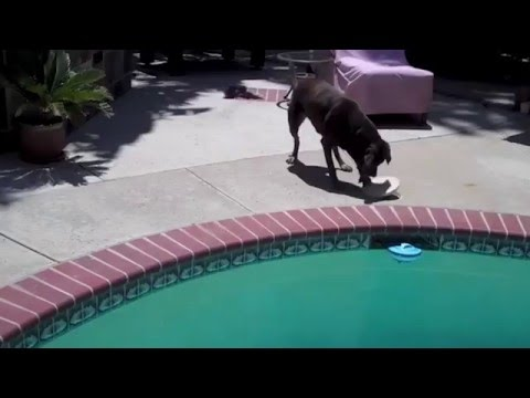 Smart Dog Fetches Ball from Pool