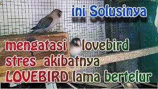 mengatasi lovebird stres akibatnya LOVEBIRD lama bertelur ( ini solusinya ) | LOVEBIRD farm