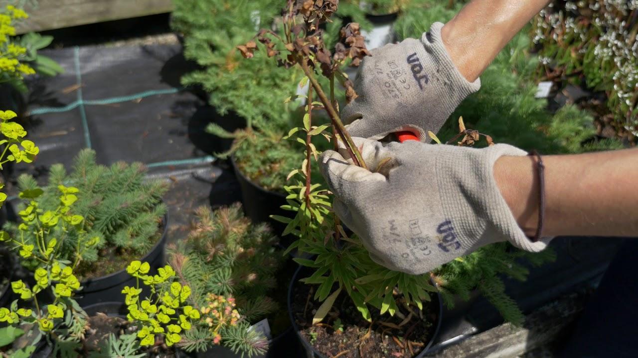Pruning Evergreen Euphorbia You