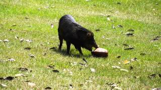 Wild Peccary plays with coconut