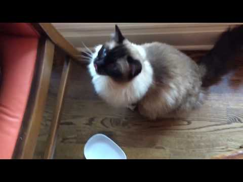 13-Year Old Seal Mitted Ragdoll Cat Caymus Begging for Salmon on Father's Day - Floppycats