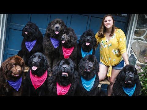 Woman Owns NINE Newfoundland Dogs | Localish