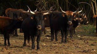 Découverte : l'aurochs, le dernier animal préhistorique !
