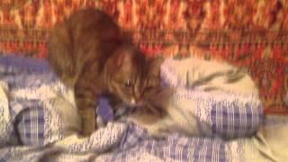 Кошка Криська топчет одеяло