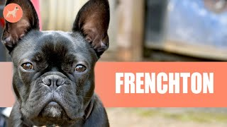French Bulldog x Boston Terrier (FRENCHTON): What You Must Know About This Mischievous Dog Breed