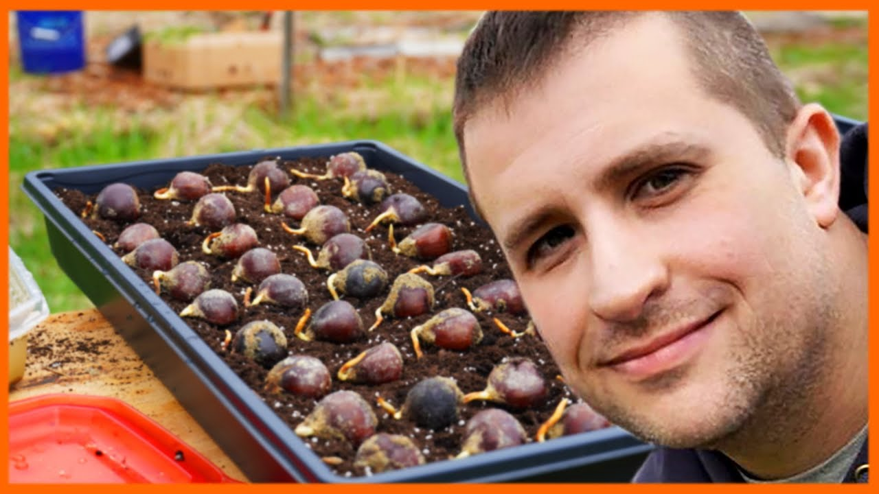 Download The Amazing Thing About Chestnut Seedlings