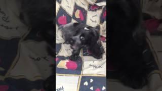 Русский спаниель. Щенок Банни. 2 месяца