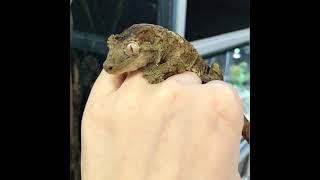 """Mniarogekko (Rhacodactylus) chahoua ♀♂ """"Mainland"""" - Gecko mousse de Nouvelle-Calédonie vidéo"""