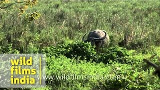 Indian rhino, Water buffalo and Sambhar deer  - Kaziranga