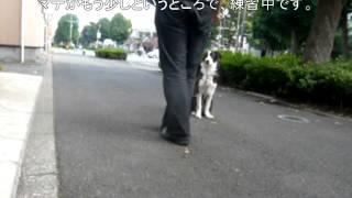 ボーダーコリー生後5か月の女の子ポエムちゃんの、しつけトレーニング7...