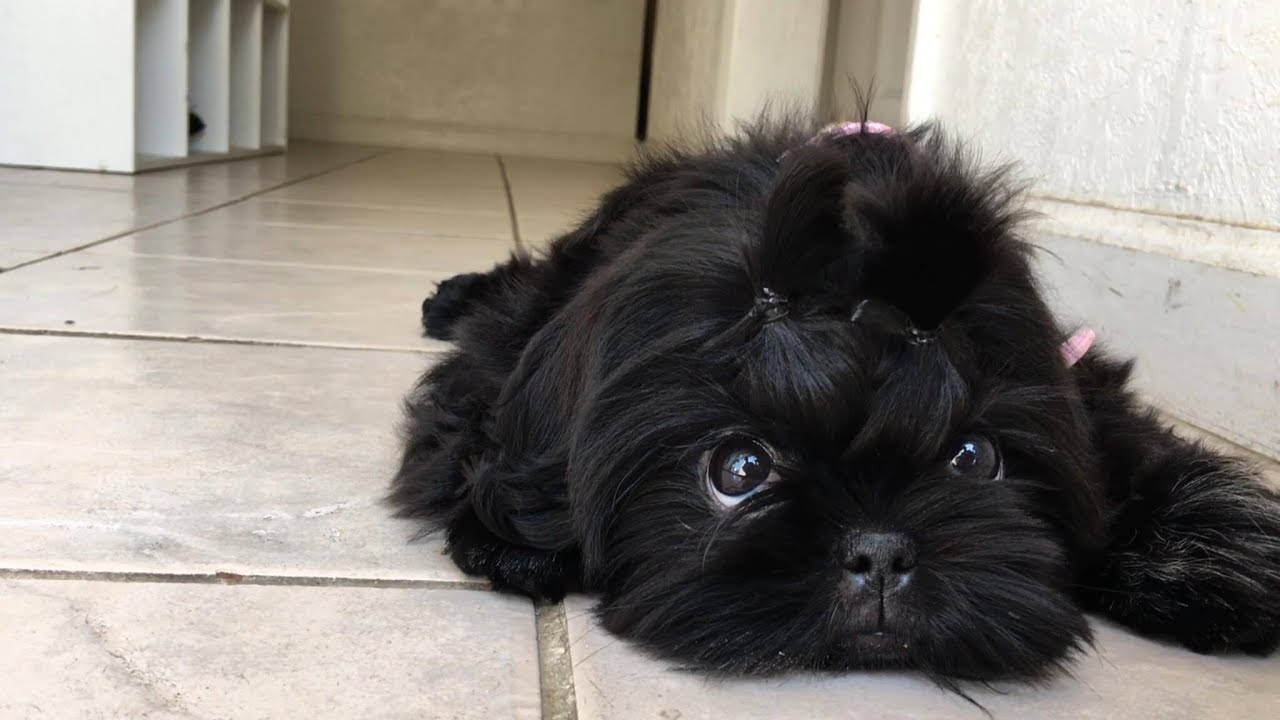 all black shih tzu beautiful black shih tzu puppy youtube 915