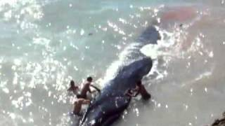 Baleine sechoue a Anza 2 http://agadirnet.com/news-actualites/detai...