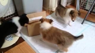 コリーの子犬、生後41日目のレインの子達。 段ボールの箱を巡って、女...