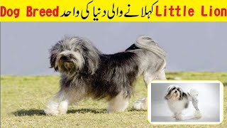 Dog Called As Little Lion   Lowchen