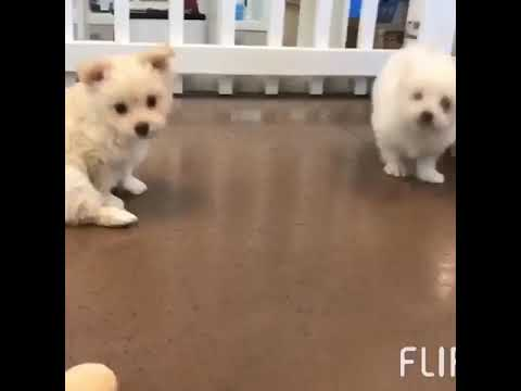 Puppies For Sale At Temecula Puppies New Arrivals Maltse Pomeranian