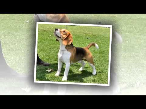 Beagle Harrier Dog breed