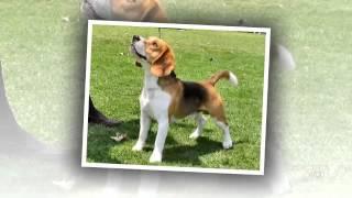 Beagle Harrier Dog Breed