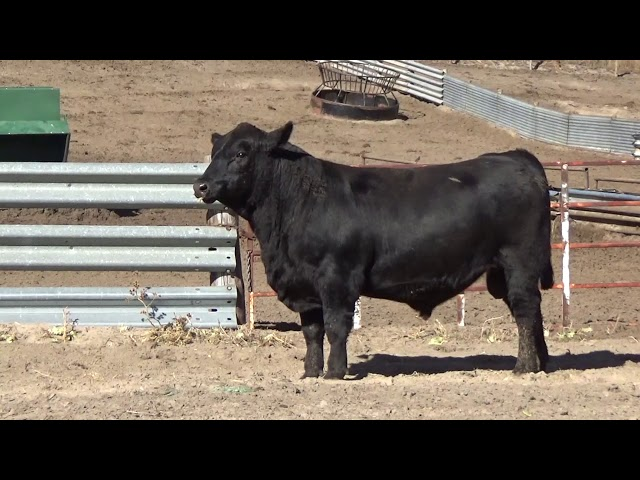 Connealy Angus Lot 114
