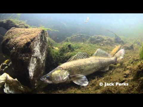 Zander Underwater Footage, River Trent, Stoke