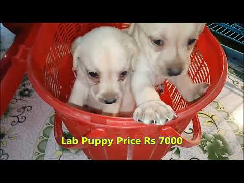 Cute Labrador Retriever Puppies Direct From Breeder L Price Rs 7000