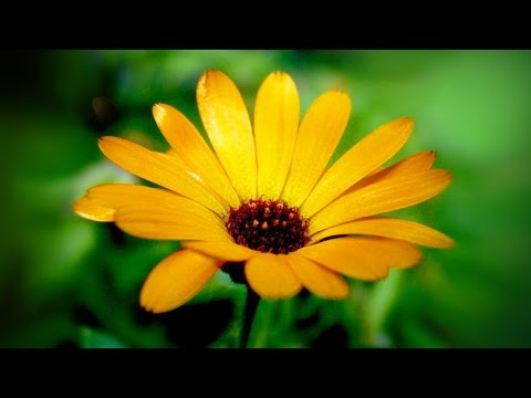 Крапива двудомная - лечебные свойства и противопоказания