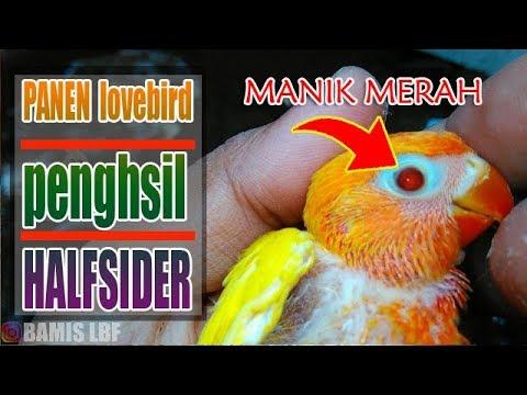 Panen Lovebird Penghasil halfsider  HS - eksperimen pale fallow || BAMIS LOVEBIRD farm