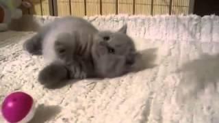 Британские лиловые котята  Породы кошек