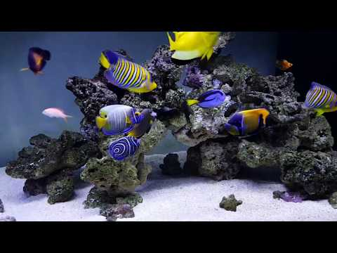 Marine Angelfish FOWLR 2