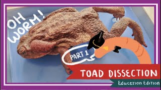 Toad Dissection (Part 1. External Anatomy & Legs) || A Double Life [EDU]