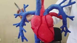 Corazón lleva a sangre pulmones del oxigenada los